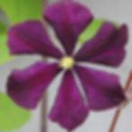 etoile violette4-kopi.jpg