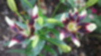 2013tofarget lilje299182.jpg