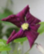 etoile violette5.jpg
