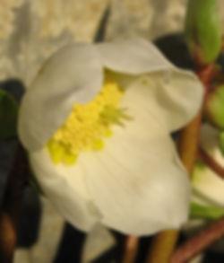 hvit julerose i blomst2.JPG