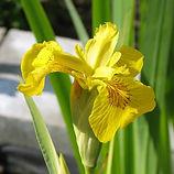 iris pseudacorus variegata4.jpg