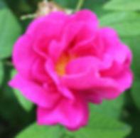 officinalis9.jpg