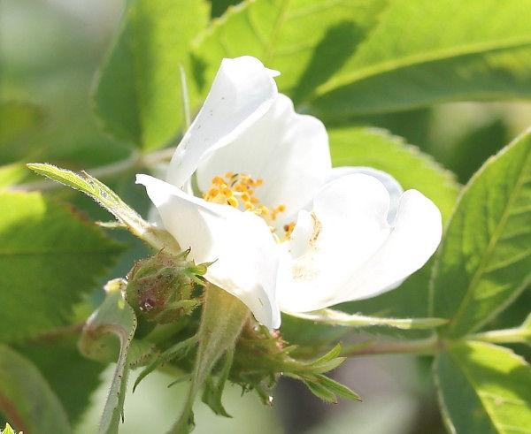 rosa canina hvit1.jpg