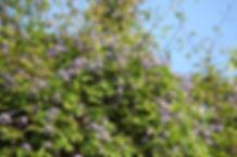 clematis alpina13.jpg