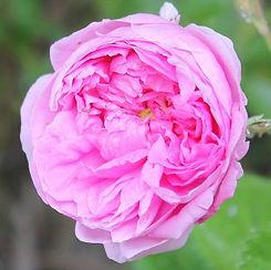 centifolia11.jpg