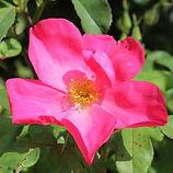 rose of picardy5.jpg