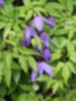clematis alpina11.jpg