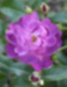 veilchenblau9.jpg