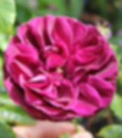 burgundy iceberg4.jpg