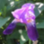 iris croatica3.jpg