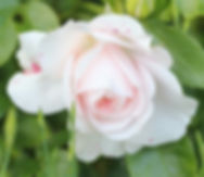 aspirin rose10.jpg