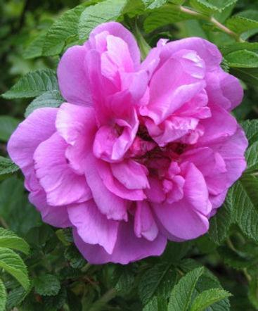 roseraie6.jpg