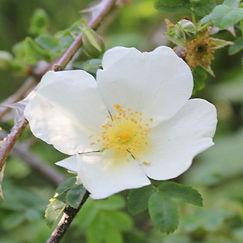 rosa sericea var pteracantha18.jpg