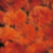 ringblomst orange.jpg