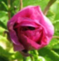 roseraie3.jpg