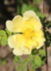 rosa hugonis6.jpg