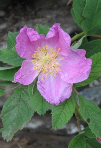 rosa villosa5.jpg