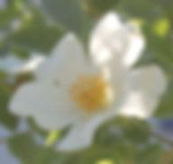 rosa canina hvit2.jpg