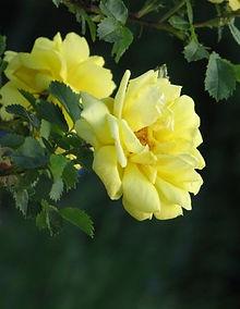 rosa hugonis flore pleno2.JPG