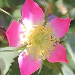rosa glauca3.jpg