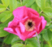 rosa rugosa rubra6.jpg