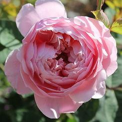 the alnwick rose1.jpg