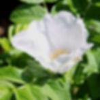 rosa rugosa var alba8.jpg
