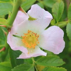 rosa canina9.jpg