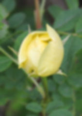 rosa hugonis5.jpg