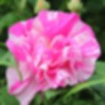 rosa mundi18.jpg
