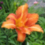 hemerocallis fulva var kwanso variegata2