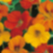 blomkarse.jpg
