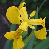 iris pseudacorus3.JPG