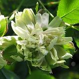 viridiflora3-kopi.jpg