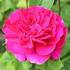 sophys rose5.jpg