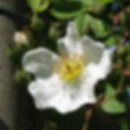 rosa arvensis4.jpg