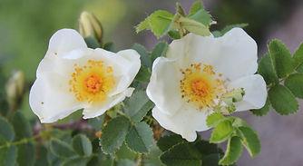 rosa pimpinellifolia var altaica14.jpg