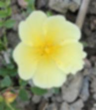 rosa hugonis3.jpg