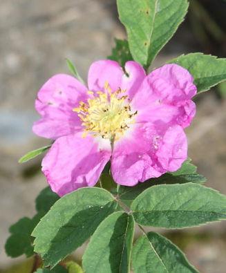 rosa villosa8.jpg