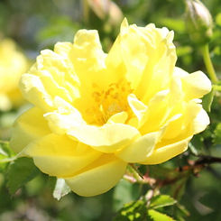 williams double yellow8.jpg