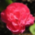 gloire des rosomanes1.JPG