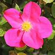 rose of picardy6.jpg