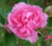 pink grootendorst6.jpg