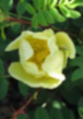rosa hugonis1.JPG