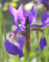 iris typhifolia15.jpg