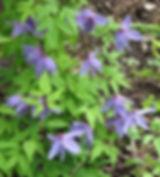 clematis alpina10.jpg