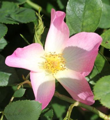 the alexandra rose4.jpg