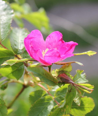 rosa pendulina lina7.jpg