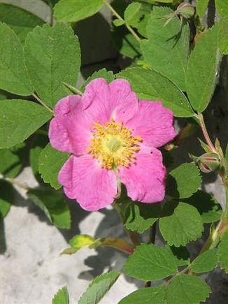 rosa pendulina2.JPG