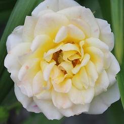 yellow fairy9.jpg